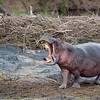 gaping hippo