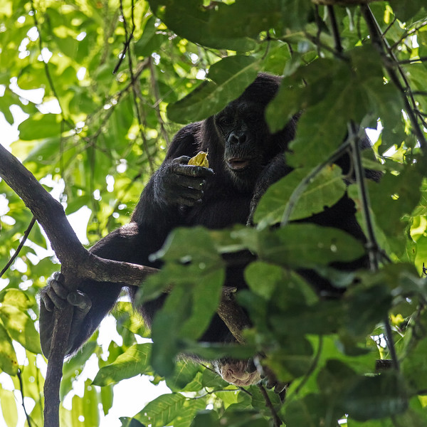 female chimp in tree with fruit