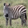 one zebra Serengeti
