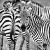 zebra eye contact