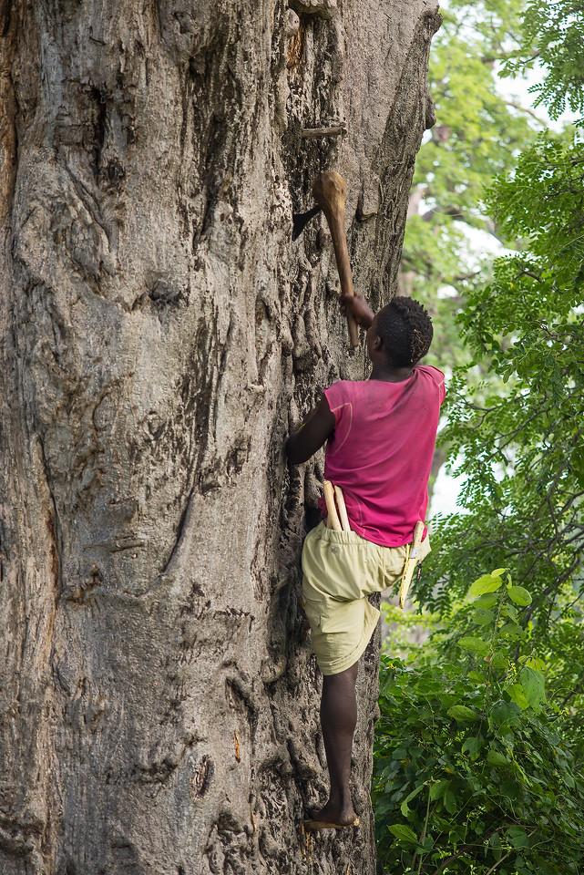 climbing a baobab tree