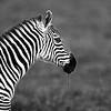 zebra in profile B W