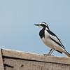 African pied wagtail on boat gunwhale