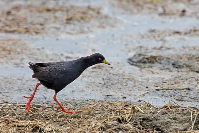 black crake striding