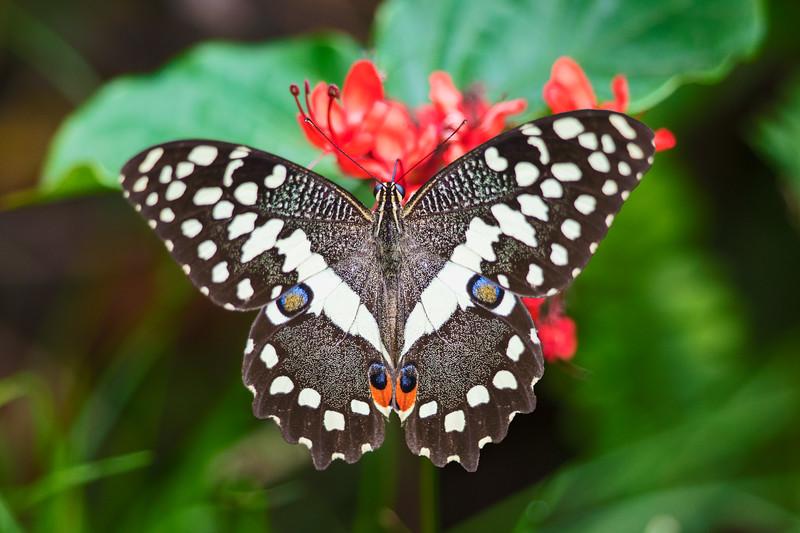 citrus swallowtail symmetrical