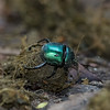 dung beetle with dung ball