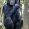 goofy chimp