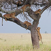 lion climbing down lion tree