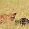 lion w cape buffalo carcass