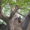 Hadza man in baobab tree