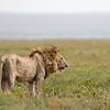 lion in profile