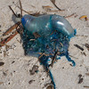 blue bottle aka Portuguese Man-o-War