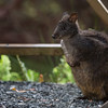 wet pademelon huddling at cabin door