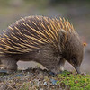 echidna with burr