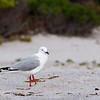 silver gull at Wineglass Bay