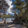 gnarly trees on beach in Dove Lake w Cradle Mountain