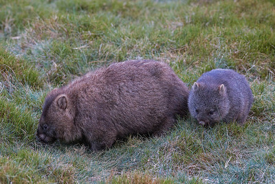mother & baby wombats