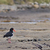 pied oystercatcher on Tesselated Pavement Beach