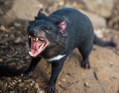 jaws of a Tasmanian devil