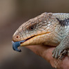 portrait of a blue-tongued lizard