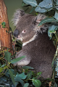 koala in Bonorong sanctuary