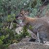 wallaby nibbling shrub