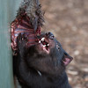 Tasmanian devil dining on wallaby