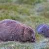 mother & baby wombats 2