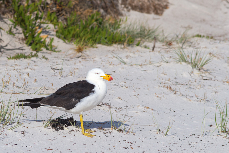 Pacific gull at Wineglass Bay