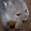 face of a baby wombat