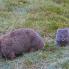 mother & baby wombats 3