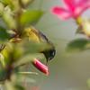 sunbird poking pink flower