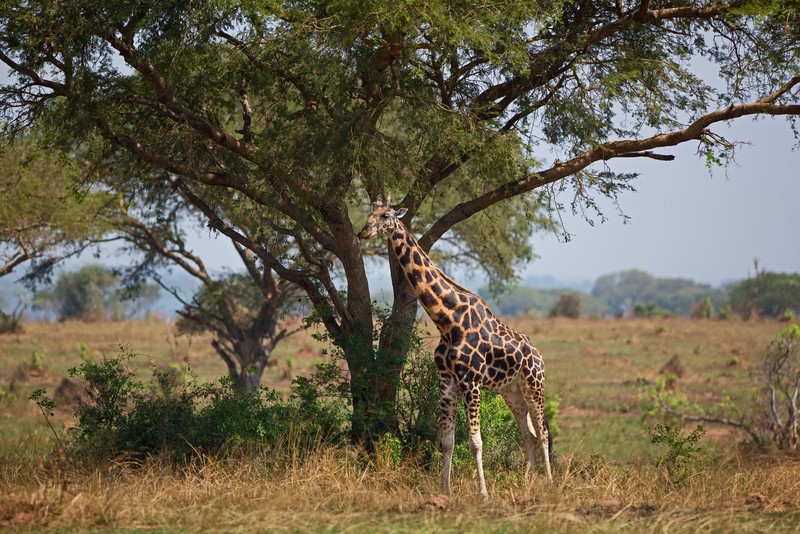 giraffe dark spots under tree