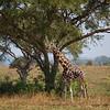 giraffe dark spots under tree