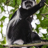 black & white colobus staring down from tree