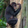 chimp touching forehead Ngamba