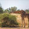 horizontal neck girafe nibbling shrub