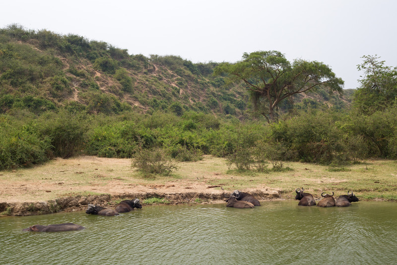 cape buffalo wallowing Kazinga Channel