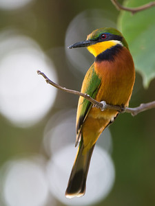 profile of cinnamon-chested bee-eater