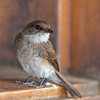 swamp flycatcher on stair
