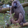 adult olive baboon in tree Murchison