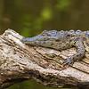croc clinging to log