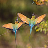 backs of 2 white-throated bee-eaters