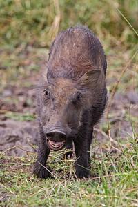 angry baby warthog