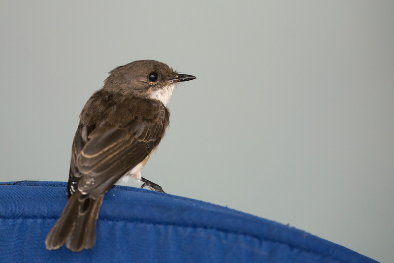 swamp flycatcher on chair