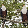 two fish eagles sharing branch