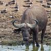 Cape buffalo w skimmers