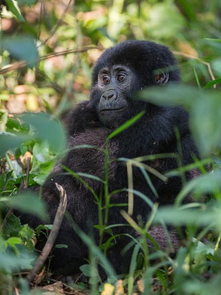 half-smile young gorilla