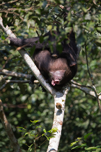 chimps have large colons to digest lots of low-quality fruit