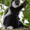 black & white colobus mouth agape